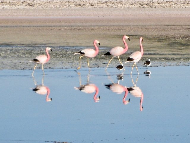flamingoes-laguna-chaxa-atacama-photo