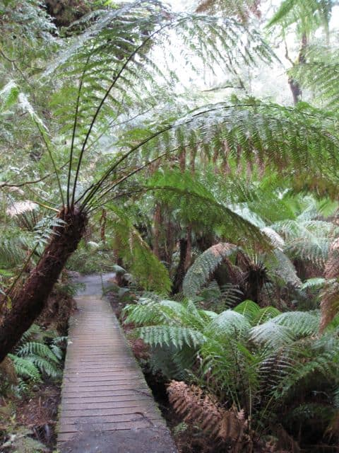 great-otway-forest-photo