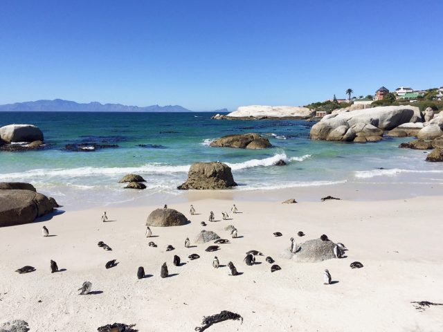 penguins-boulders-beach-simons-town-photo