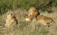 lions-masaai-mara-photo