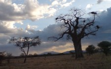 Baobabs at sunset