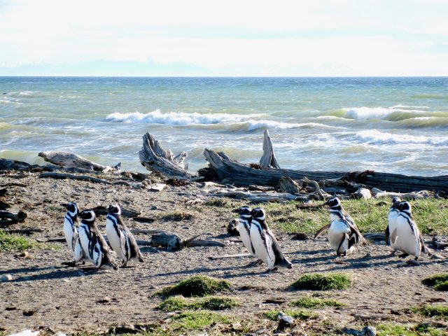 Magellanic penguin chile patagonia photo