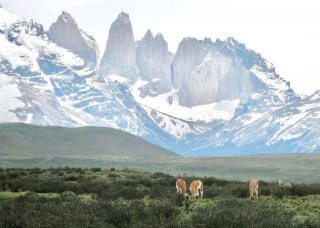 alpacas-torres-del-paine-photo