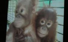 Video at the Sepilok Orangutan Sanctuary