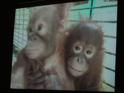 Video at the Sepilok Orangutan Sanctuary
