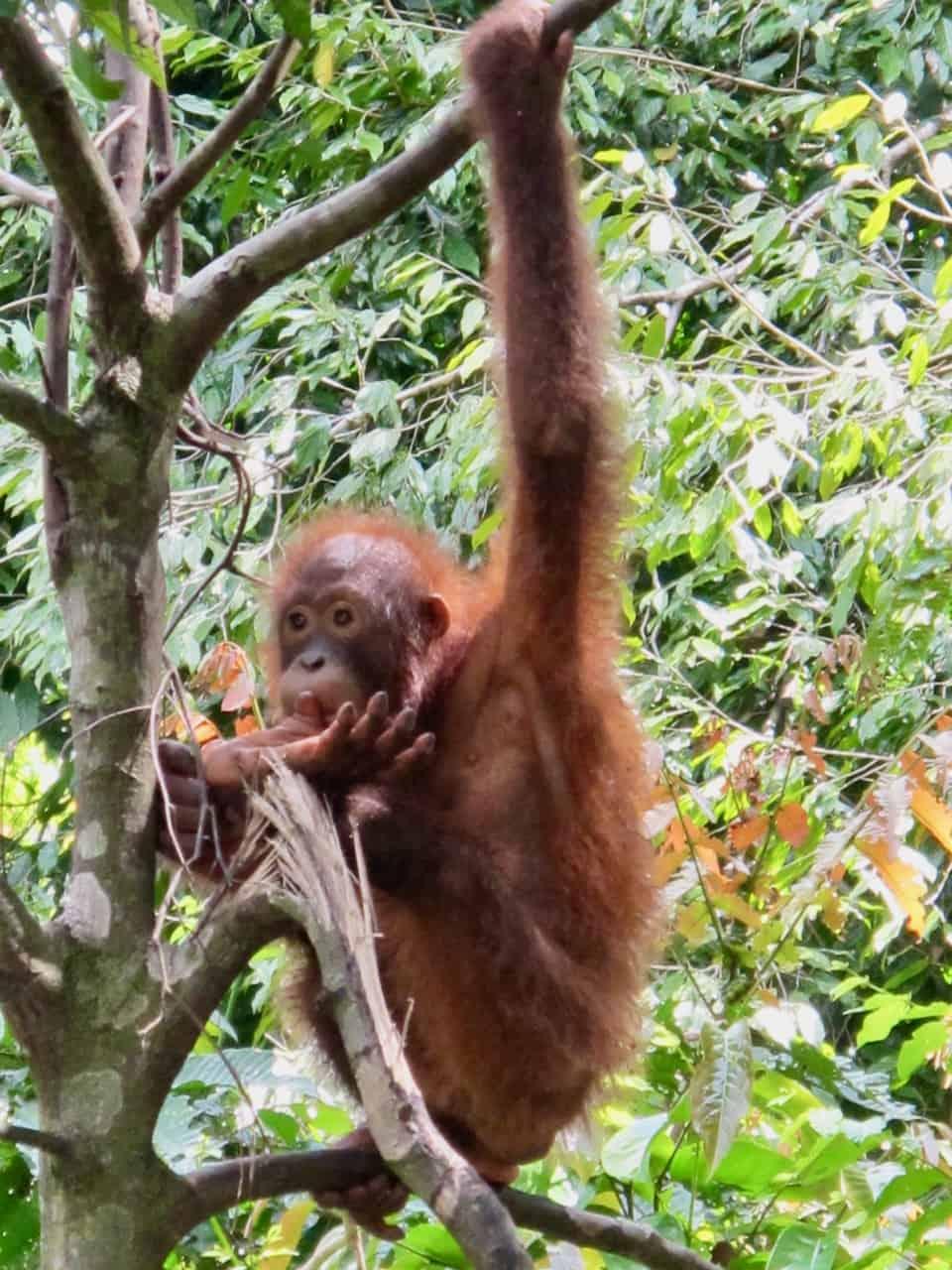 orangutan-sabah-malaysia-photo