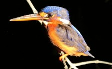 kingfisher-photo