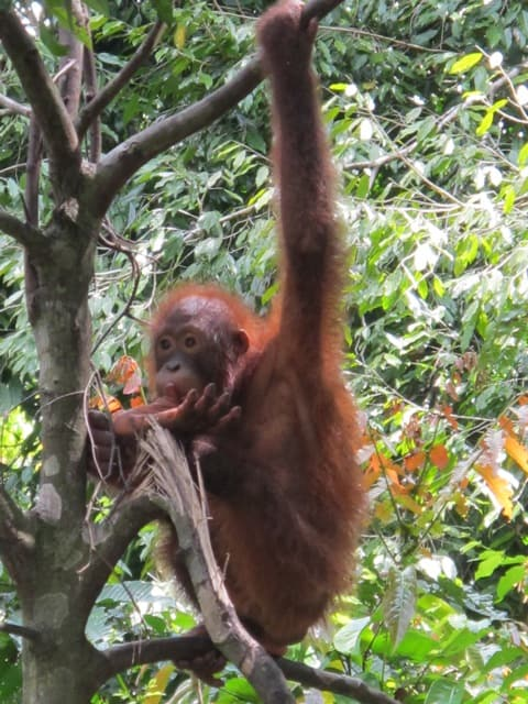 The first orangutan to appear!
