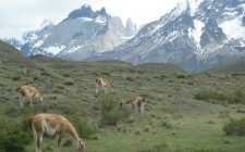 guanacos-torres-del-paine-photo
