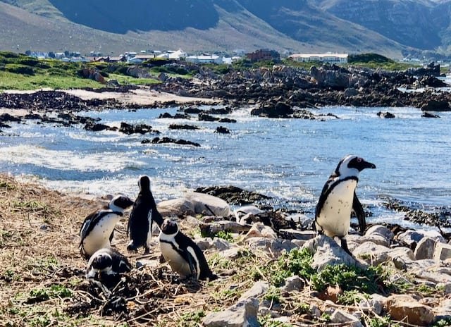 bettys-bay-penguins-photo