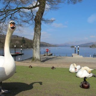 swans-windermere-cumbria-photo