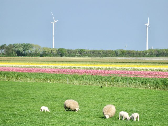 windmills-sheep-flowers-holland-photo