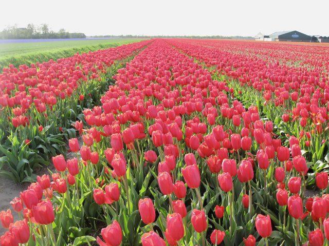 tulip-fields-callantsoog-photo