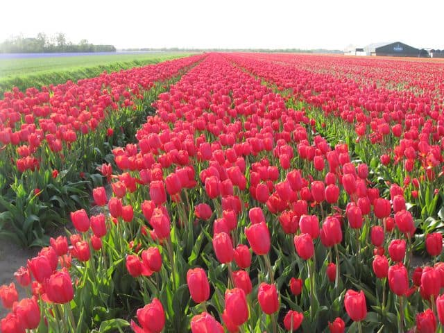 Ok, one more photo of Holland's tulip fields... because they're just amazing!