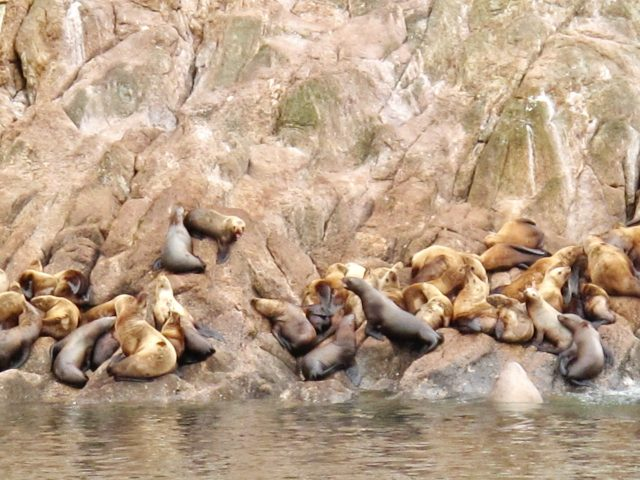 sea-lions-alaska-photo