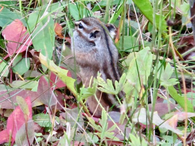 columbia-ground-squirrel-photo