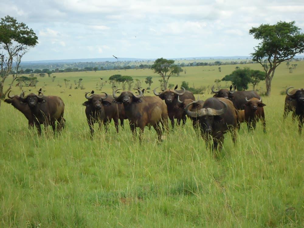 buffalo-murchison-uganda-photo