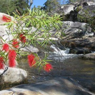 mcleod-river-bottlebrush-photo