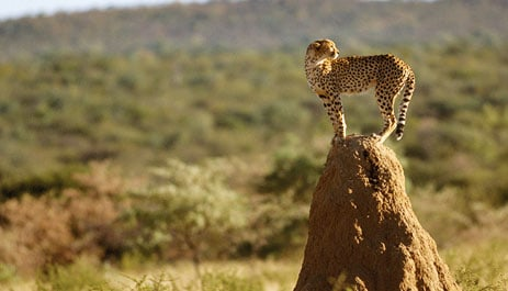 cheetah-namibia-photo