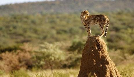 cheetah-namibia-photo