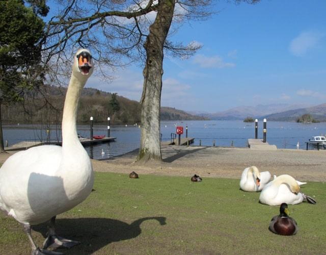 swan-windermere-photo