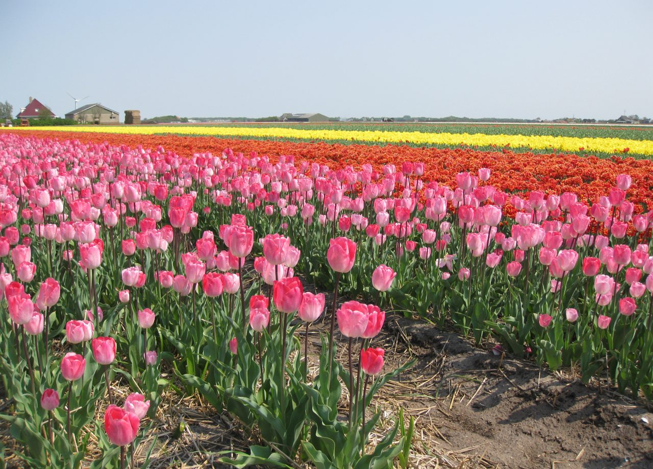 The tulip fields of Holland - where to see them and how to get there