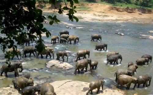 elephants-sri-lanka-photo