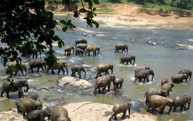 elephants-sri-lanka-photo
