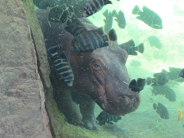 hippo-bioparc-valencia-photo