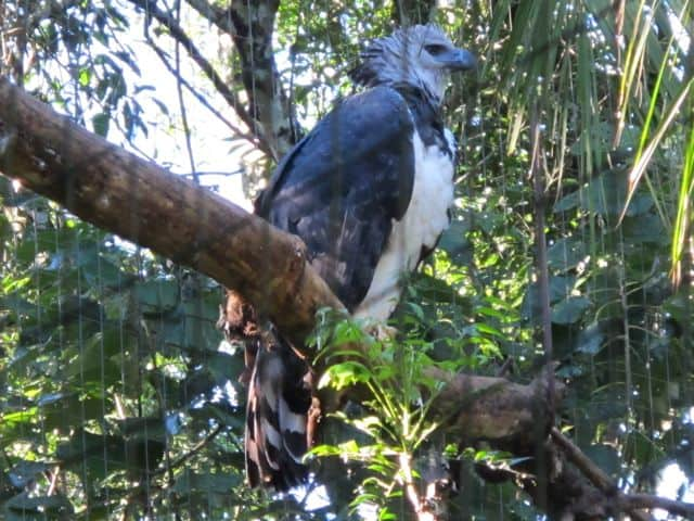 harpy-eagle-photo