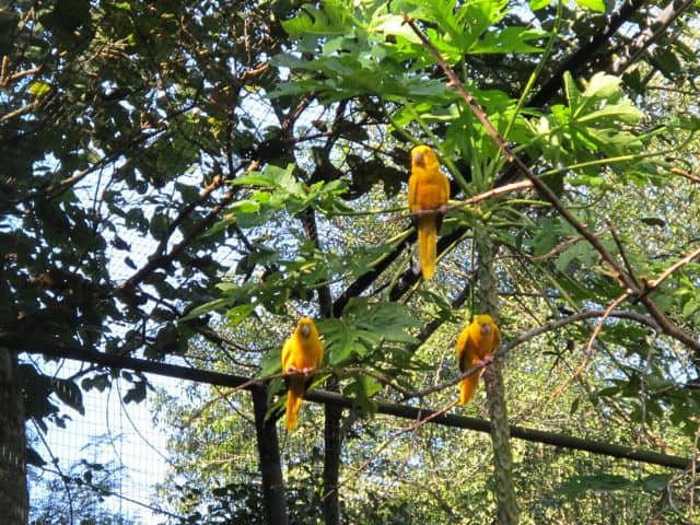 golden-parakeet-photo