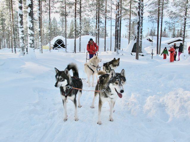husky-safari-finland-photo