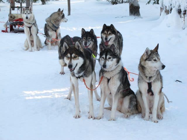 beautiful-huskies-photo