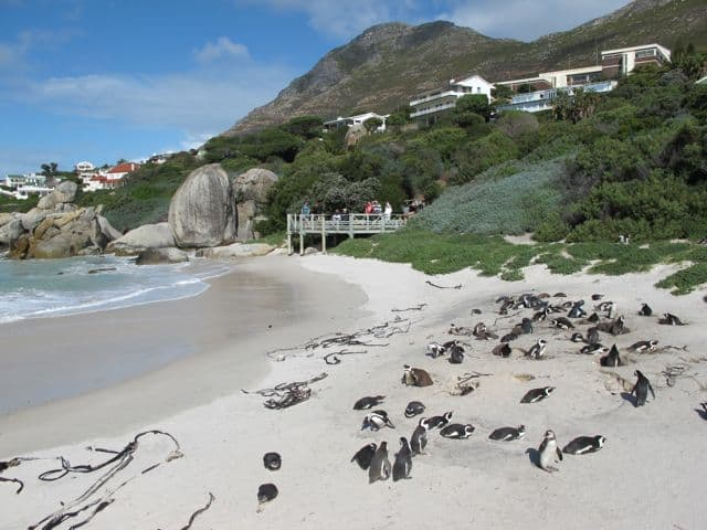 african-penguins-boulders-beach-photo