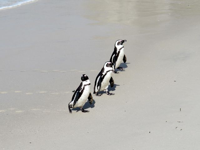 african-penguins-photo