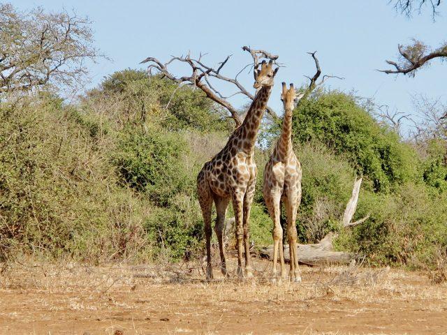giraffes-chobe-botswana-photo