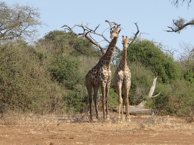 giraffes-chobe-botswana-photo