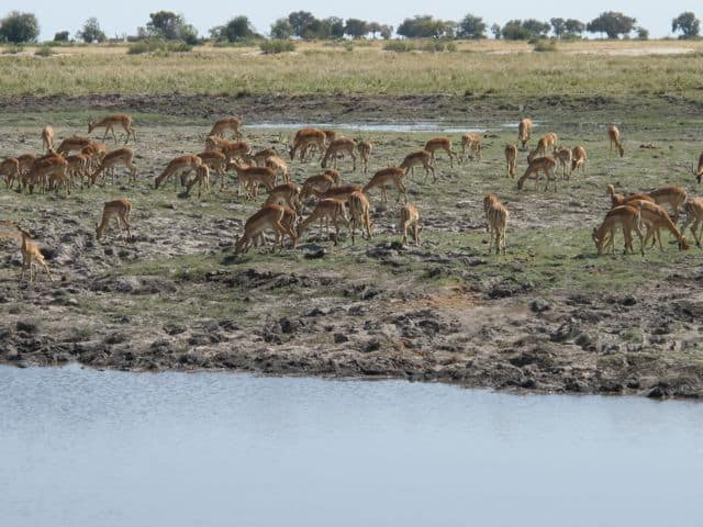 chobe-impalas-photo