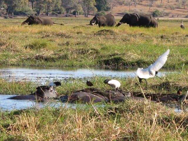 elephants-hippos-chobe-river-photo