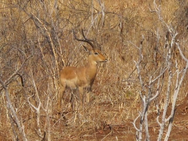 male-impala-chobe-photo