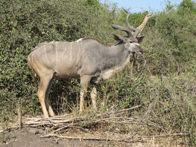 kudu-chobe-photo