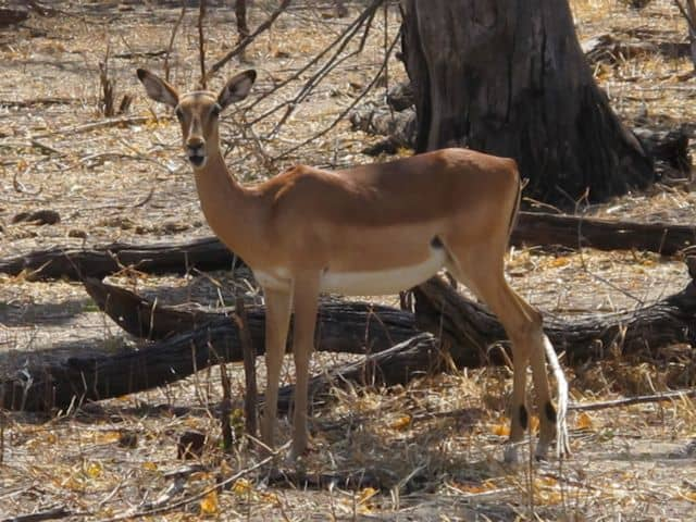 female-impala-photo