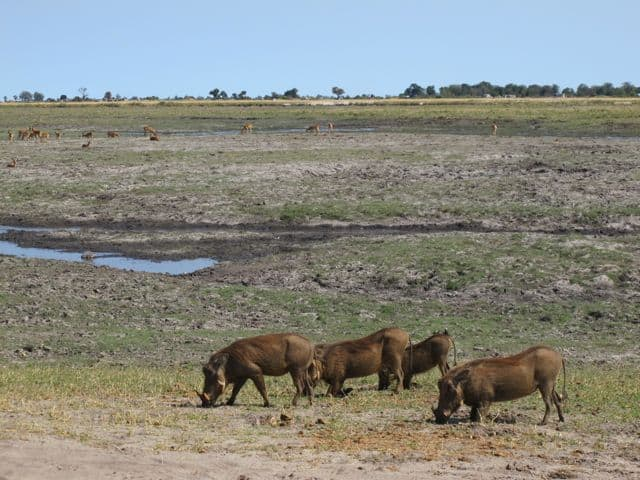 warthogs-chobe-photo