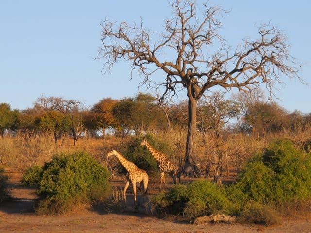giraffes-sunset-photo