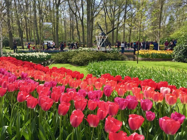 keukenhof-gardens-tulips-photo