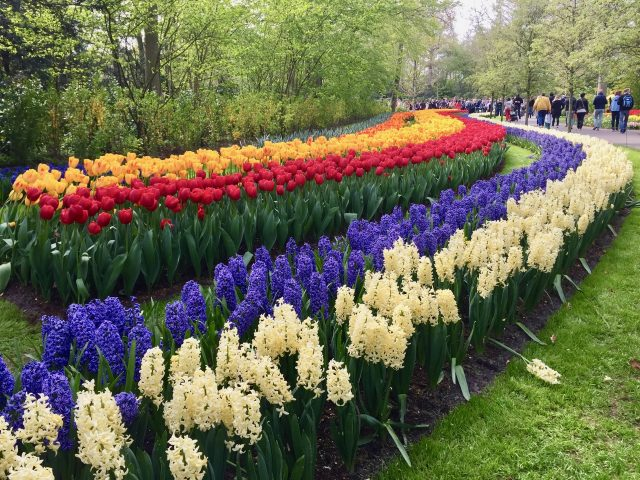 tulips-hyacinths-keukenhof-photo