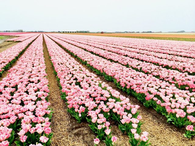 tulip-fields-schagen-photo