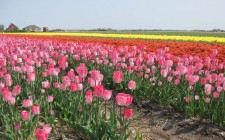 multi-colored-tulips-holland-photo