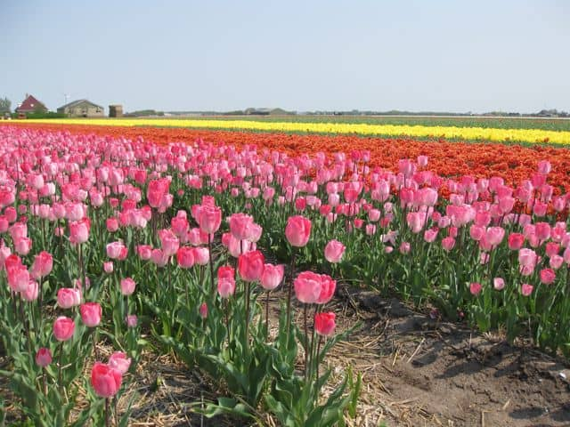 Velvet Moments: travel photo – a sea of tulips