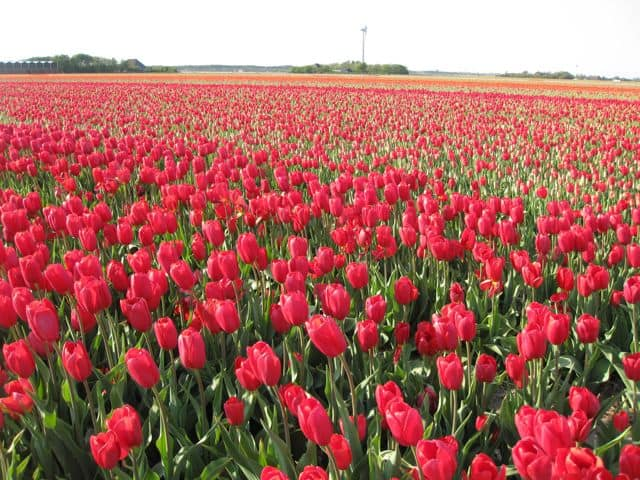 A sea of red tulips